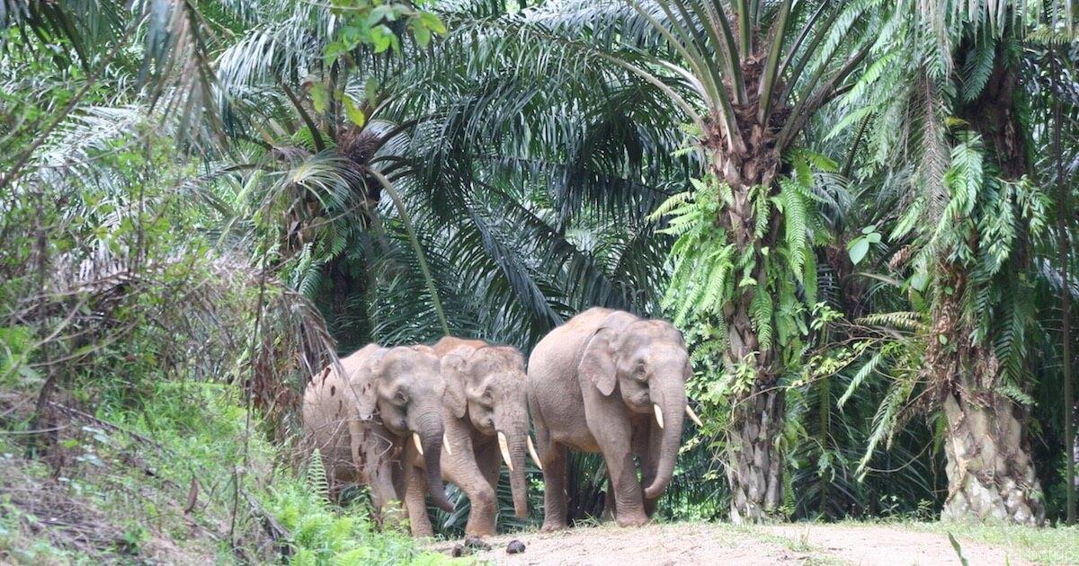 アブラヤシプランテーションの中を歩くボルネオゾウの群れ