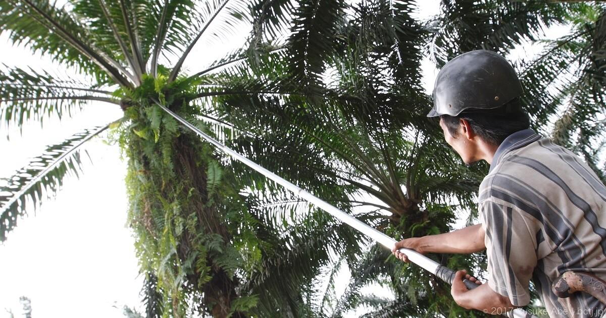 アブラヤシの果房を刈り取る